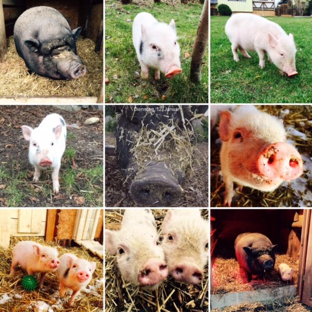 vorstellung-schweine-2-004